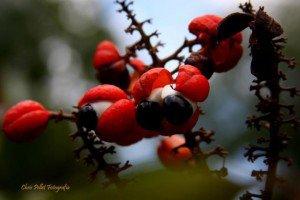 Guarana - Foto: Chris Pellet